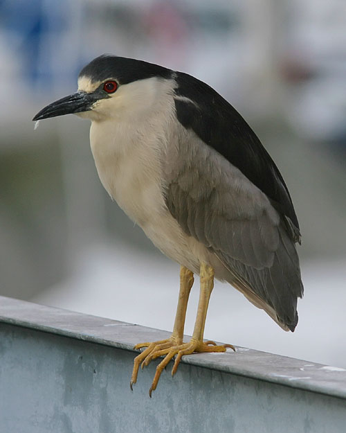 John saw this Black-crowned Night Heron just outside his hotel room on Mission Bay in San Diego.  The heron stood watch over the local harbor for several nights and mornings running, giving John several photo ops.