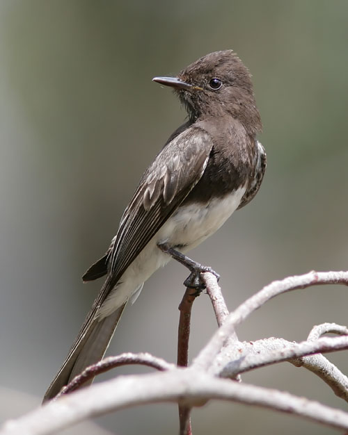 John's visits to the west coast have given him several chances to see the Black Phoebe.  This one caught him by surprise when it landed on a nearby tree on the walking path around Batiquitos Lagoon in Carlsbad, CA, while John was focused on the antics of several Bushtits.