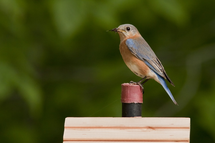 Given a proper nest box, our pair of back yard bluebirds set up housekeeping in short order. Here, Eloise, the female of the pair, sits atop the nest box with an arachnid meal in her beak.