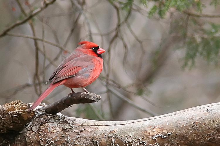 Though a fairly common bird, the Cardinal had proved an elusive subject for a decent photograph for John for some time, often appearing in the shade or behind several branches.  After a long (and productive) morning at Huntley Meadows, John captured this photo of the state bird just outside the visitor's center.