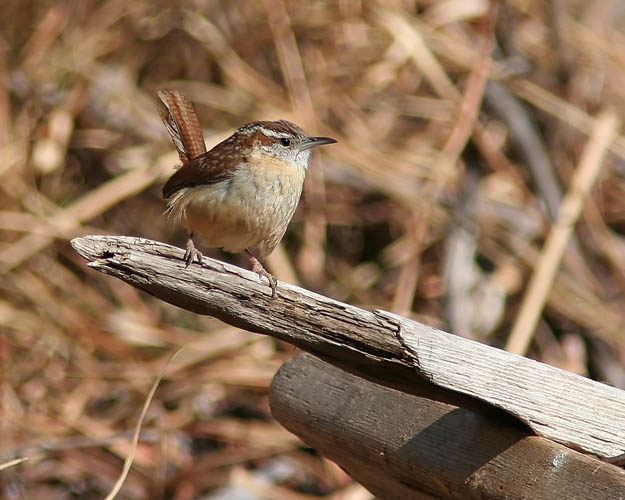 As John and Beth first started into the Occoquan Bay National Wildlife Refuge for a morning of birding, John stopped to observe this cute little Carolina Wren.
