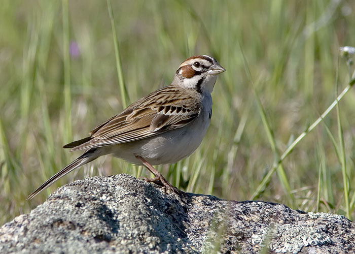 The fields of the Santa Ysabel Open Space Preserve in the Palomar mountains east of San Diego offered several Lark Sparrows for observation.