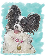 Lexi the Papillon