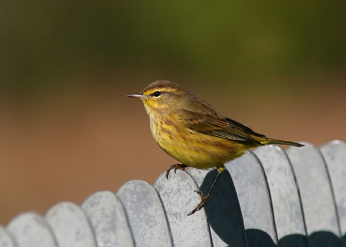 The fall migration brought many warblers back through Huntley Meadows, including this inquisitive little Palm Warbler who hopped from the weeds to the boardwalk and then up onto the railing, where John took several photos.