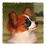 Portia the Papillon