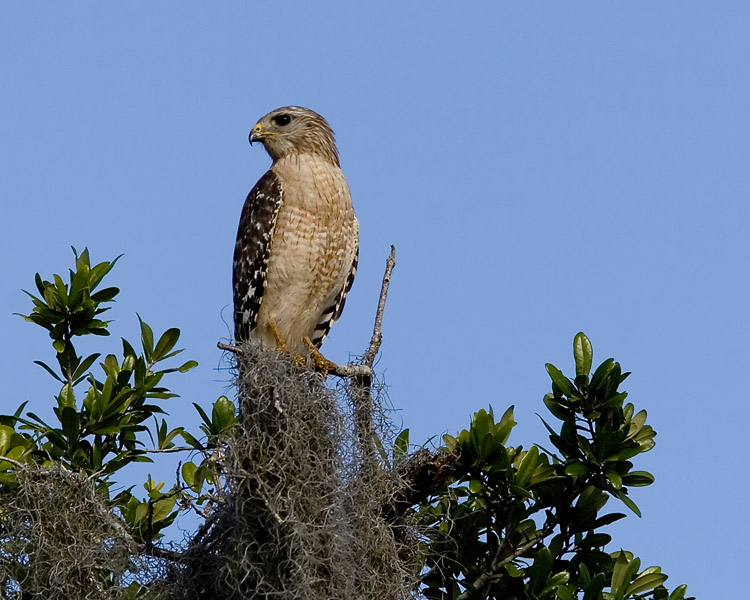 This was one of several Red-shouldered Hawks I spied at the Orlando Wetlands Park; one had perched in the same stand of trees as an Osprey, several cormorants, a Great Blue Heron, and a small flock of Black-bellied Whistling Ducks.