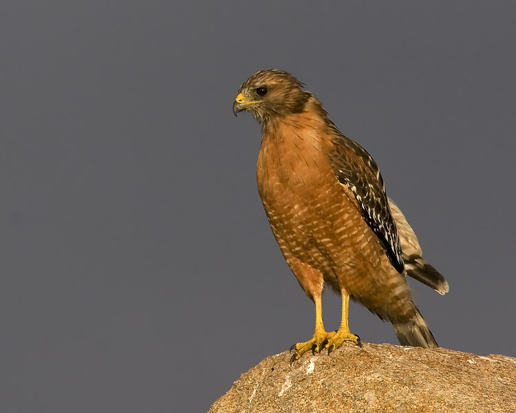 A sunset drive through Pebble Beach and Carmel-by-the-Sea revealed this Red-shouldered Hawk perched atop his own 'Bird Rock' (just across the road from the famed 17-Mile Drive landmark of the same name).