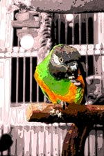 Sam the Poicephalus Parrot