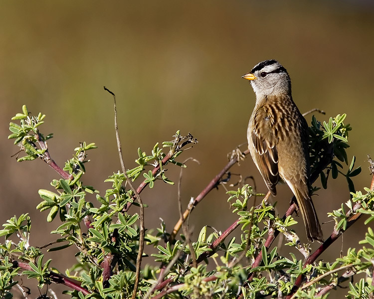 One of John's favorite sights (and sounds) on a trip to the California coast is the bold little White-crowned Sparrow which pops up alongside what seems to be every parking lot or footpath.