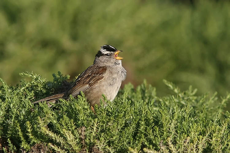 This vocal little songbird was one of the first John spotted on a recent trip to the Monterey peninsula.  The many White-crowned Sparrows he saw seemed to prefer perching in the thick, hedge-like foliage along the rocky coastline.