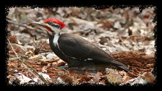 A fine Pileated Woodpecker